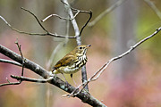 Vivid Colour Digital Art - Fall Birds - Hermit Thrush by Christina Rollo