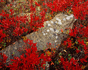 Reindeer Lichen Posters - Fall Blueberries and Moss H Poster by Tom Daniel