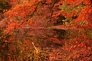 Red Maple Trees Prints - Fall Flavor Print by Lourry Legarde