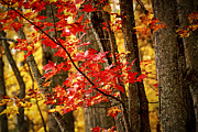 Fiery Photo Posters - Fall forest detail Poster by Elena Elisseeva