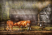Old Barns Photo Prints - Farm - Cow - A couple of Cows Print by Mike Savad