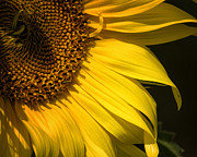 Belinda Greb - Find the Spider in the Sunflower