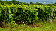 Finger Lakes Framed Prints - Finger Lakes Vineyard Framed Print by Robert Harmon