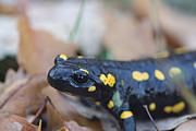 Fire Salamander Prints - Fire Salamander Close View Print by Jivko Nakev