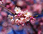 Cherry Blossoms Photo Originals - First Cherry Blossoms by Larry Oskin