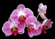Thai Framed Prints - Five Beautiful Pink Orchids Framed Print by Sabrina L Ryan