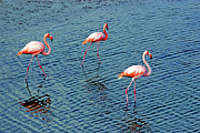 Al Bourassa - Flamingoes In The Galapagos Painting