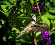 Mark Andrew Thomas Prints - Flight of the Hummingbird Print by Mark Andrew Thomas