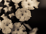 Close Focus Floral Prints - Floating Into The Dark Print by Marco Oliveira