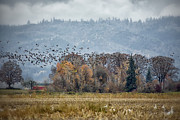 Wild Geese Flying Posters - Flock of Geese in Flight Poster by Belinda Greb