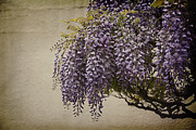 Beautiful Purples Framed Prints - Focus on Wisteria Framed Print by Terry Rowe