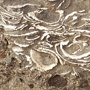 Fossils Layered In Sand And Rock Fine Art Print by Artist and Photographer Laura Wrede