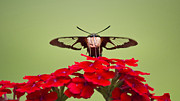 Centered Digital Art - Front And Center Hummingbird Clearwing Moth by Christina Rollo