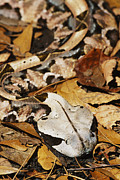 Blending In Prints - Gaboon Viper Print by David Davis