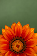 Orange Photos - Gazania Rising by Anne Gilbert