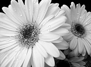 Jennie Marie Schell - Gerber Daisies in Black and White