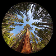 Fisheye Posters - Giant Sequoia Fisheye Poster by Jane Rix
