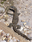 Goanna Photos - Goanna - Western Australia by Phil Banks