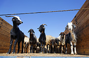 Goat Art - Goats at the Ashgabat Sunday Market in Turkmenistan by Robert Preston