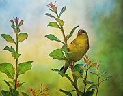 Sandy Keeton Acrylic Prints - Gold Finch on Branch Acrylic Print by Sandy Keeton