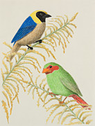 Jeanette Kabat - Golden-collared Tanager and Grass-green...