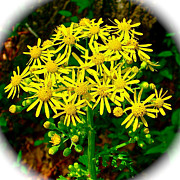 Natchez Trace Parkway Posters - Golden Ragwort in Donivan Slough on Mile 283 of Natchez Trace Parkway-MS Poster by Ruth Hager