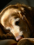 Sleeping Animal Framed Prints - Golden Retriever Dog Sleeping in the Morning Light  Framed Print by Jennie Marie Schell