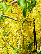 Fistula Framed Prints - Golden shower or Cassia fistula on blue sky Framed Print by Ammar Mas-oo-di
