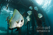 Ephippidae Photos - Golden Spadefish Gather Under Arborek by Steve Jones