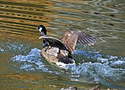 Susan Leggett Photo Prints - Goose in Water Print by Susan Leggett
