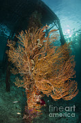 Arborek Island Framed Prints - Gorgonian Sea Fan Attached To A Leg Framed Print by Steve Jones