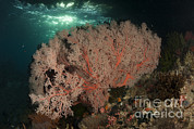 Whips Framed Prints - Gorgonian Sea Fans On A Reef In Raja Framed Print by Steve Jones