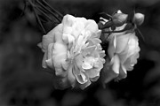 Jennie Marie Schell - Graceful Roses Black and White