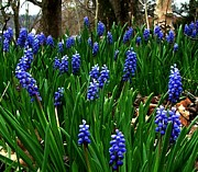 Julie Dant - Grape Hyacinths