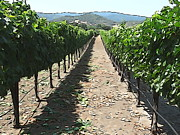Grapevines Photos - Grapevines by Phil Campanella