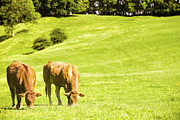 Bovine Animals Prints - Grazing Cows Print by Christopher and Amanda Elwell