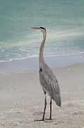 Great Neck Framed Prints - Great Blue Heron Framed Print by Kim Hojnacki