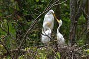 Tim Moore Metal Prints - Great Egret Nest Metal Print by Tim Moore