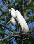 David Lynch Metal Prints - Great Egret Pair Metal Print by David Lynch