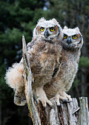 Barbara McMahon - Great Horned Owlets