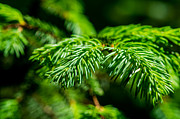 Fresh Green Posters - Green Christmas Tree 1 Poster by Alexander Senin