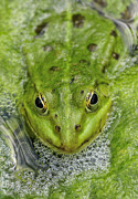 Separately Prints - Green Frog Print by Matthias Hauser