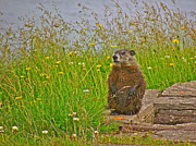 Groundhog Digital Art Prints - Groundhog at Point Amour in Labrador Print by Ruth Hager