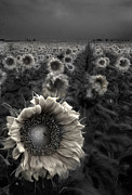 Dave Dilli - Haunting Sunflower fields 1