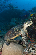 Hawksbill Sea Turtle Posters - Hawksbill Sea Turtle On A Reef Poster by Steve Jones