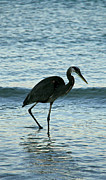 Panama City Beach Posters - Heron in the surf Poster by Rebecca LaChance