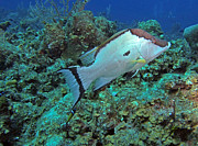 Jimmy Nelson - Hogfish on reef