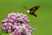Moth-butterflies Digital Art - Hummingbird Clearwing Moth In Flight by Christina Rollo