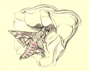Pink Blossoms Drawings Posters - Hummingbird Moth in Moonflower Poster by MM Anderson