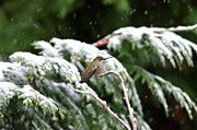 Kathy King - Hummingbird on a snowy...